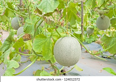 Cantaloupe Tree High Res Stock Images Shutterstock The cantaloupe, rockmelon (australia and new zealand), sweet melon, or spanspek (south africa) is a melon that is a variety of the muskmelon species (cucumis melo) from the family cucurbitaceae. https www shutterstock com image photo cantaloupe hanging on tree 124012372