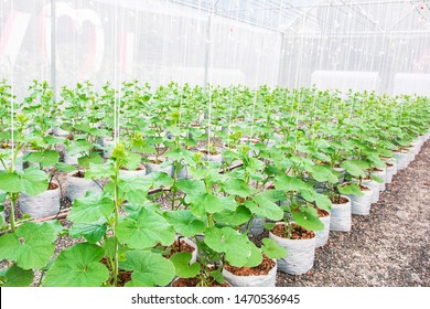 Cantaloupe melons sprout growing in greenhouse organic farm.Japanese Cantaloupe Melon farm, Line of Japanese melons  or cantaloupe.Favorite fruit in summer.