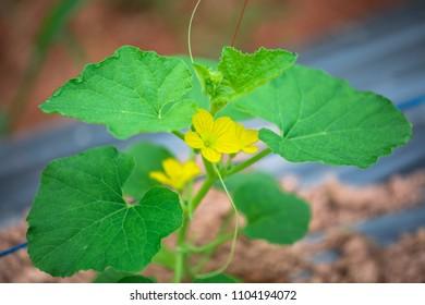 Cantaloupe plant flower
