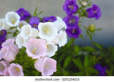 Canterbury bell flowers