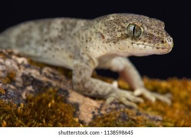 Canterbury gecko (Woodworthia brunneus) small form female