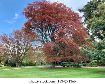 Canterbury, New Zealand - October 11th 2019. Christchurch Botanic Gardens, Hagley park and the old purple beech tree in spring.