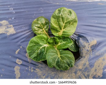Canton Pak Choi after planting one week