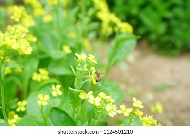 Cantonese green vegetables, yellow flowers, Cantonese vegetables and insects, bees looking for nectar.