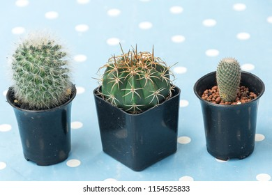 Cantus in black pot on a blue background