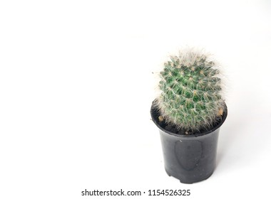 Cantus in black pot on a white background,copyspace