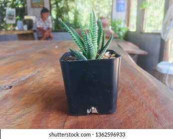 Cantus sunligh thorns