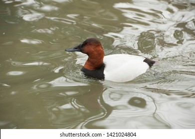 Canvasback (Aythya valisineria) This adult breeding male duck is a diving duck.
