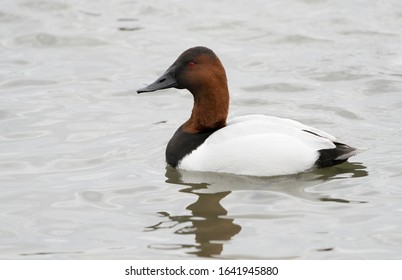 Canvasback drake swimming in Maryland