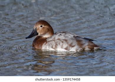 Canvasback Duck - Aythya valisineria Female from North America