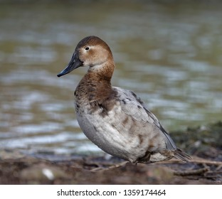 Canvasback Duck - Aythya valisineria Female standing by water