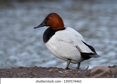 Canvasback Duck - Aythya valisineria Male standing by water