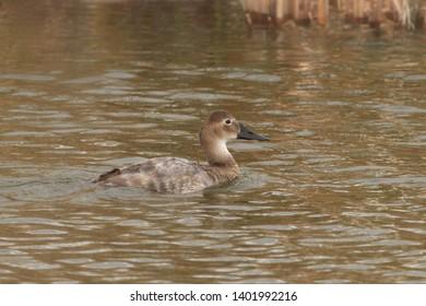 Canvasback Duck (female) (aythya valisineria)