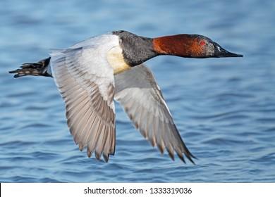 Canvasback Duck Male in Flight