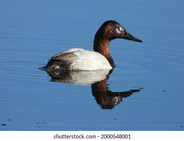 Canvasback duck in the morning sun