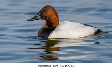Canvasback Duck on the water