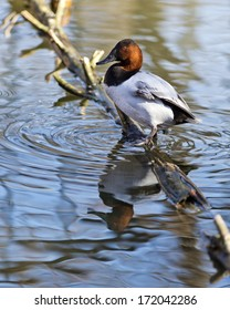 canvasback duck resting on a log in a lake