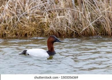 A canvasback duck swims in an Idaho wetland.