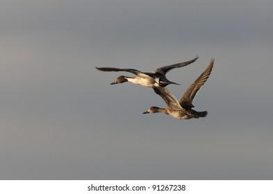 Canvasback Ducks in Flight Saskatchewan Canada
