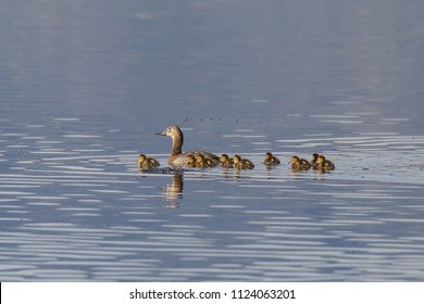Canvasback (female and ducklings)
