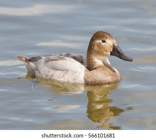Canvasback hen in river in Cambridge, Md.