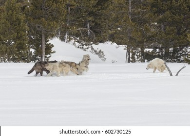 The Canyon Pack greeting each other in Yellowstone National Park.