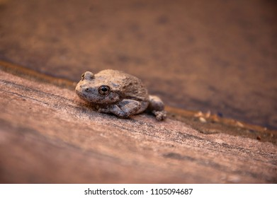 Canyon Tree Frog in Zion National Park, Utah