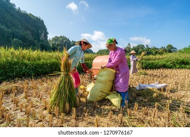 CAO BANG, VIET NAM - SEP 06, 2018: Farmers harvest rice on the field. Rice and rice field in Trung Khanh, Cao Bang, Vietnam. Landscape of area Trung Khanh