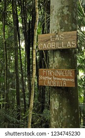 Caobillas Carapa guianensis and Swietenia humilis with identification signs in Palmichal  forest, Venezuela