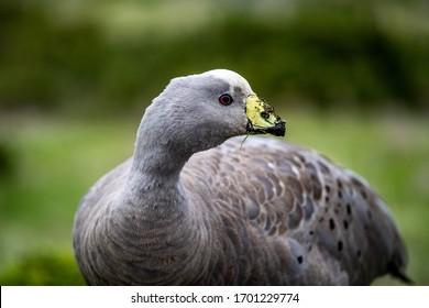 A cape barren goose with dirt on its beak