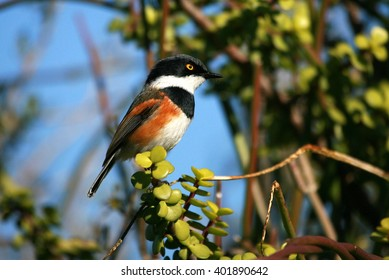 A Cape Batis male perched on a tree branch in South Africa