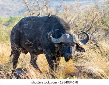 A Cape Buffalo bull foraging in Southern African savanna