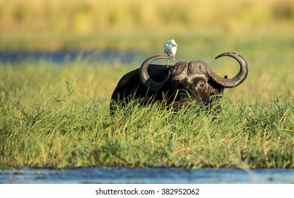Cape Buffalo feeding in Chobe River in Botswana