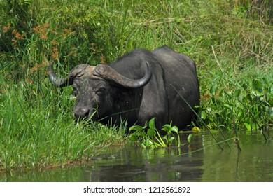 A Cape Buffalo is feeding in the Nile river in Murchison Falls National Park Uganda