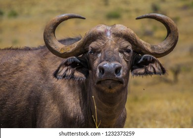 Cape buffalo head close up