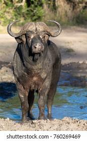 Cape Buffalo, Kruger National Park, South Africa