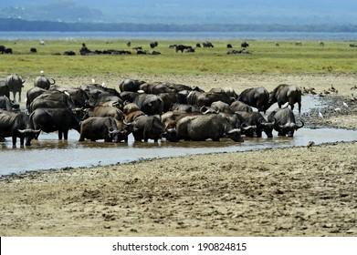 Cape Buffalo in Lake Nakuru National Park in Kenya