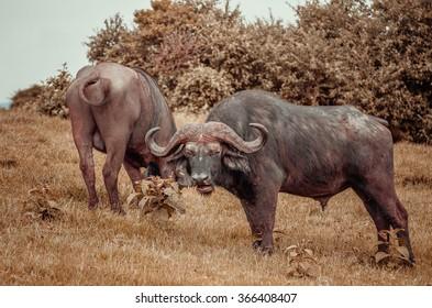 Cape buffalo in Masai Mara, Kenya
