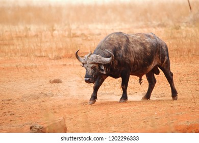 Cape buffalo in Ngutuni game reserve