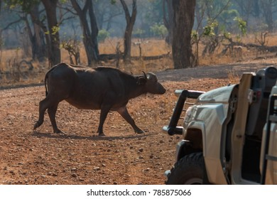 A Cape buffalo passes in front of a safari vehicle in Zambia's South Luangwa Valley.