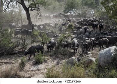 Cape Buffalo at river