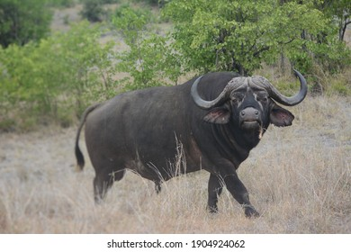Cape Buffalo in South African wild reserve, looking at suspicious at photographer. One of the big five animals in this country.