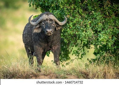 Cape buffalo stands by bush facing camera