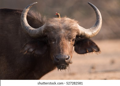 Cape Buffalo (Syncerus caffer) after taking a drink photobombed by a Red-billed oxpecker
