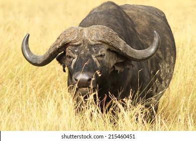 Cape buffalo (Syncerus caffer) on the Masai Mara National Reserve safari in southwestern Kenya.