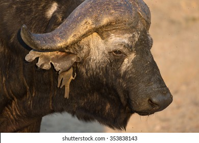 Cape buffalo at a water hole in Sabi Sands Game Reserve in greater Kruger National Park, South Africa