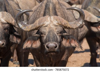 Cape buffalo in Zambia's South Luangwa Valley.