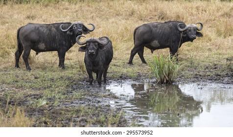 Cape buffaloes (Syncerus caffer) at the watering point, Masai Mara National Reserve, Kenya