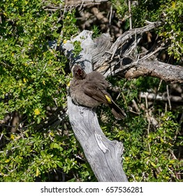 A Cape Bulbul perched on a branch in Southern Africa