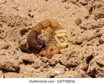 Cape Burrower Scorpion (Parabuthus capensis)